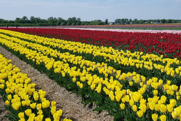 Tulpenfeld am Rande von Kaarst